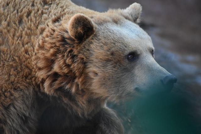 У притулку «Домажир» поселяться два ведмеді з приватного зоопарку на Донбасі