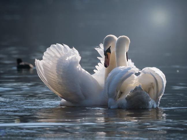 У Трускавці від смерті врятували понад півсотні лебедів на замерзлому озері